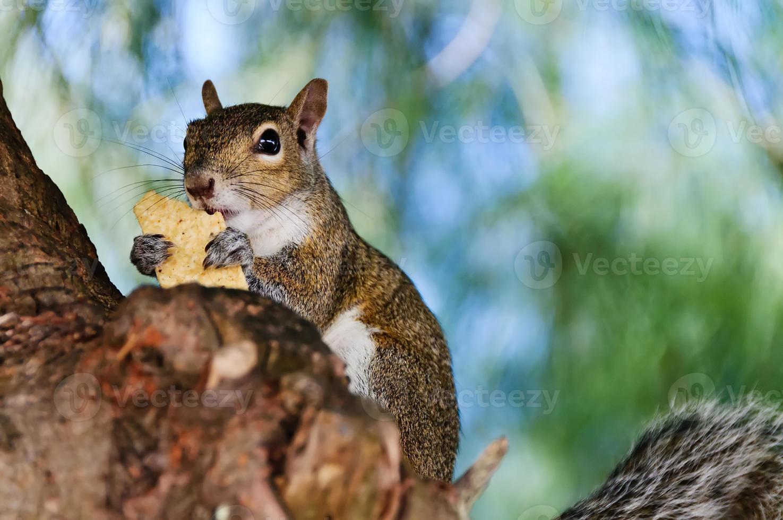 esquilo cinzento closeup foto