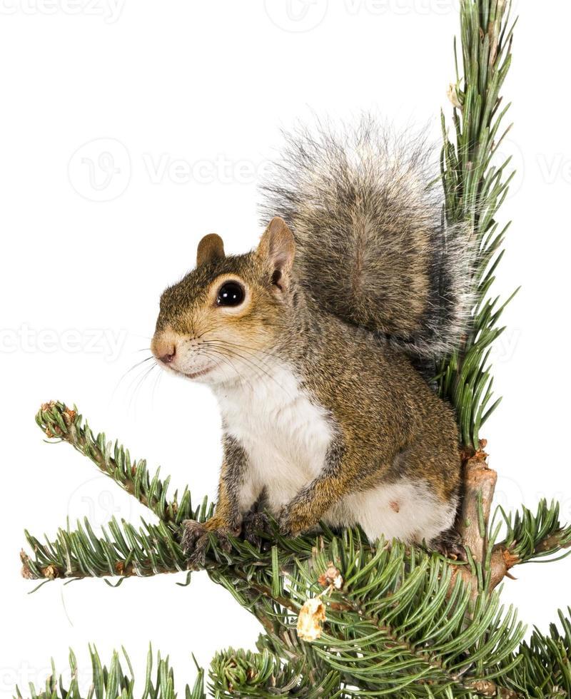 esquilo cinzento americano em cima de uma árvore de abeto foto