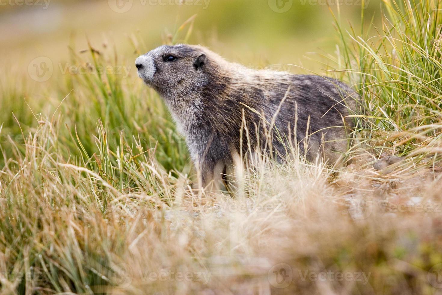 marmota olímpica (marmota olympus) entre gramíneas de montanha foto