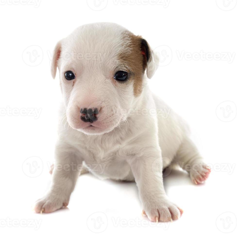 filhote de cachorro jack terrier russel foto