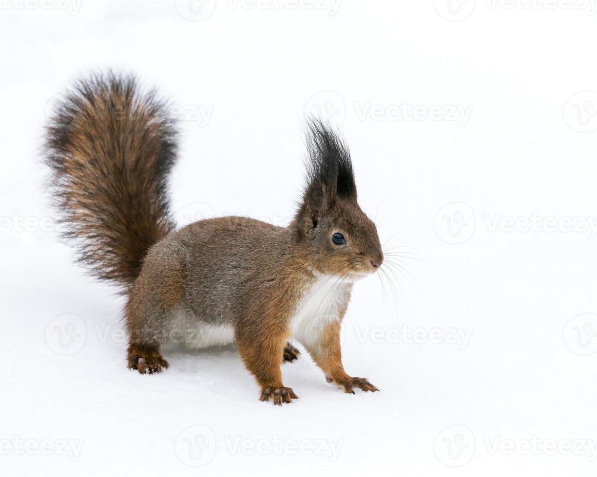 esquilo na neve em winter park foto