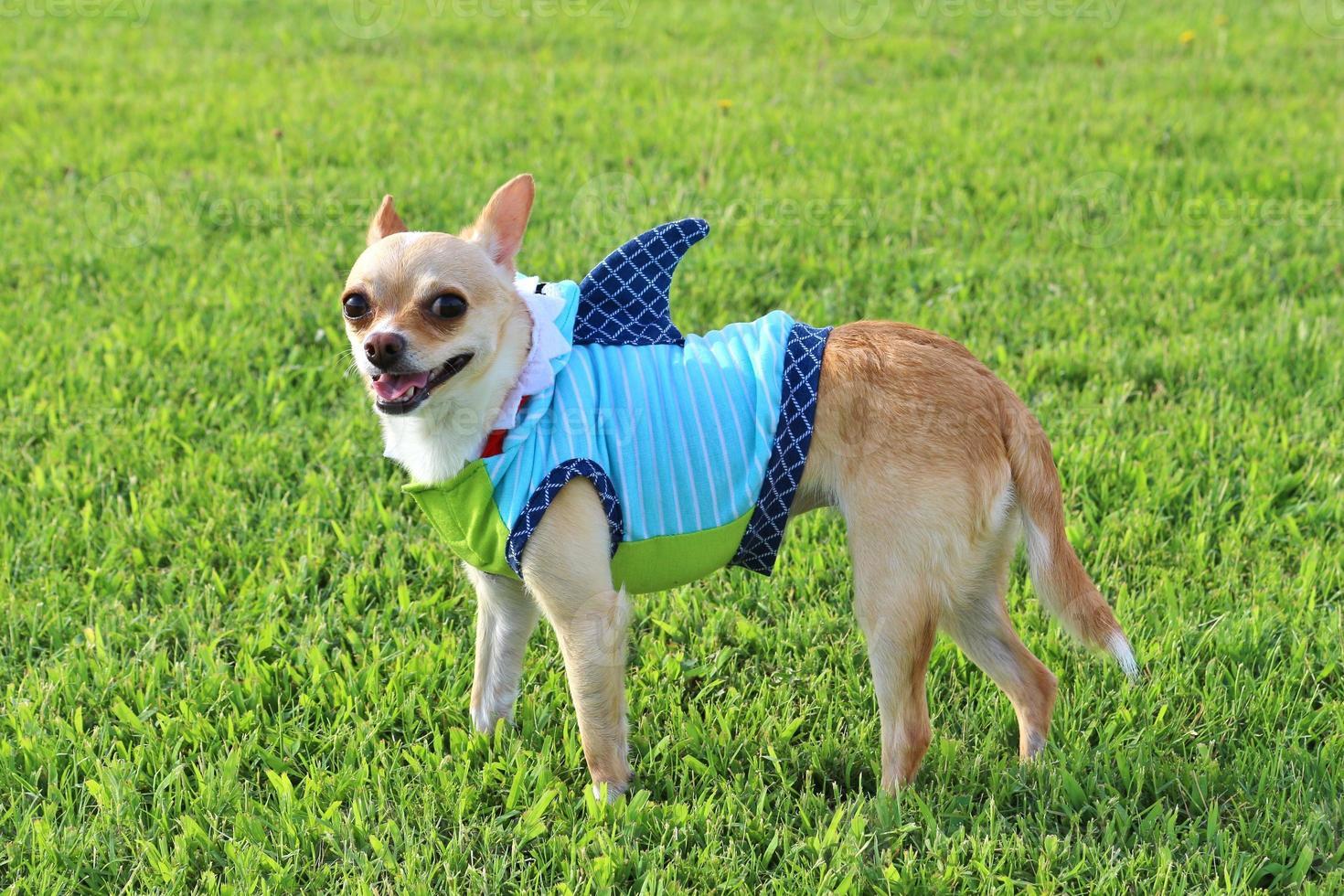 chihuahua da semana do tubarão! foto