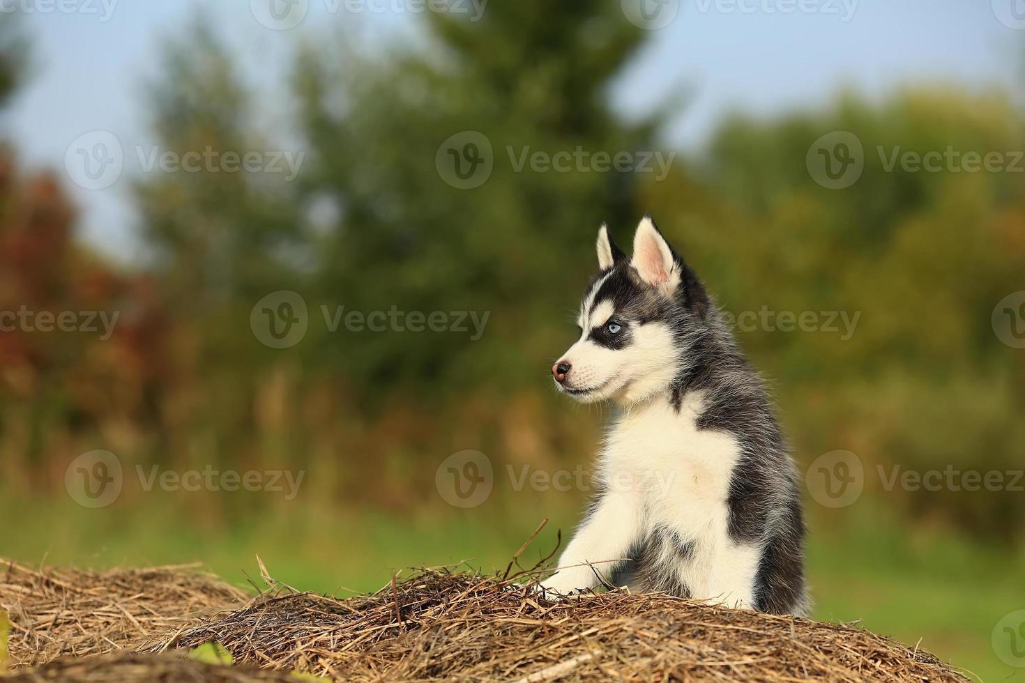 husky bebê sentado na grama seca foto