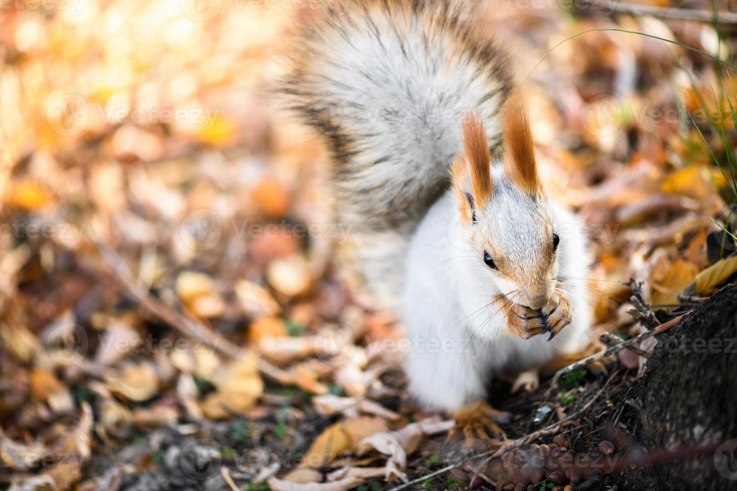 esquilo cinzento come sementes na floresta de outono foto