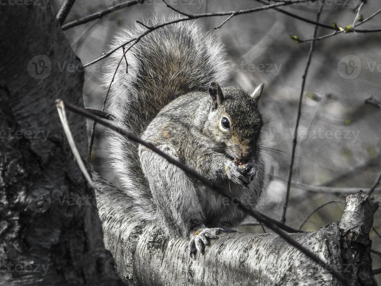 esquilo no central park - cidade de nova york foto