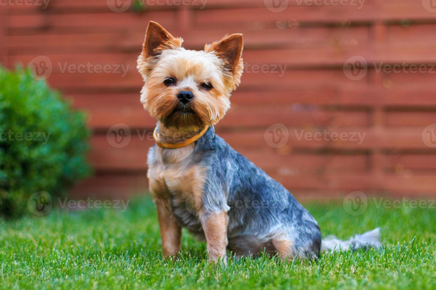 cão yorkshire terrier na grama verde foto
