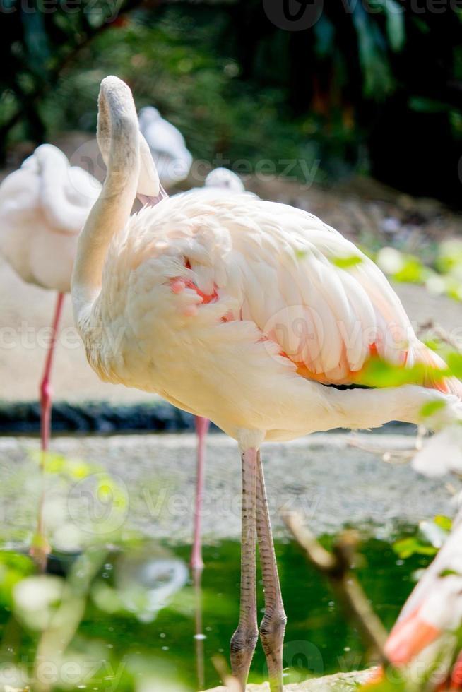 flamingos no zoológico foto