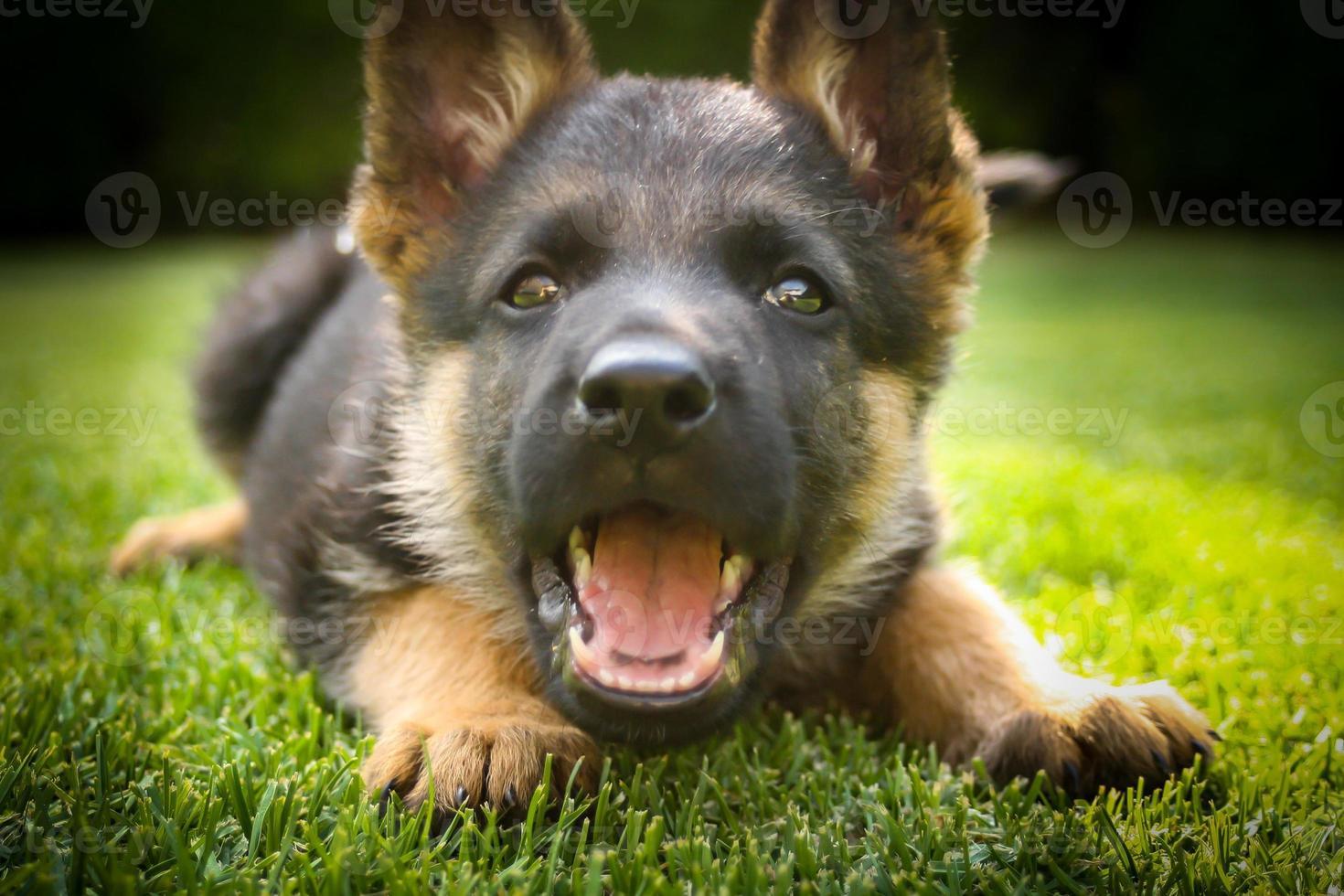 filhote de pastor alemão, jogando em um dia quente de verão foto