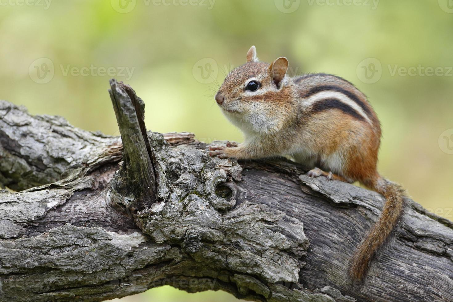 esquilo oriental foto