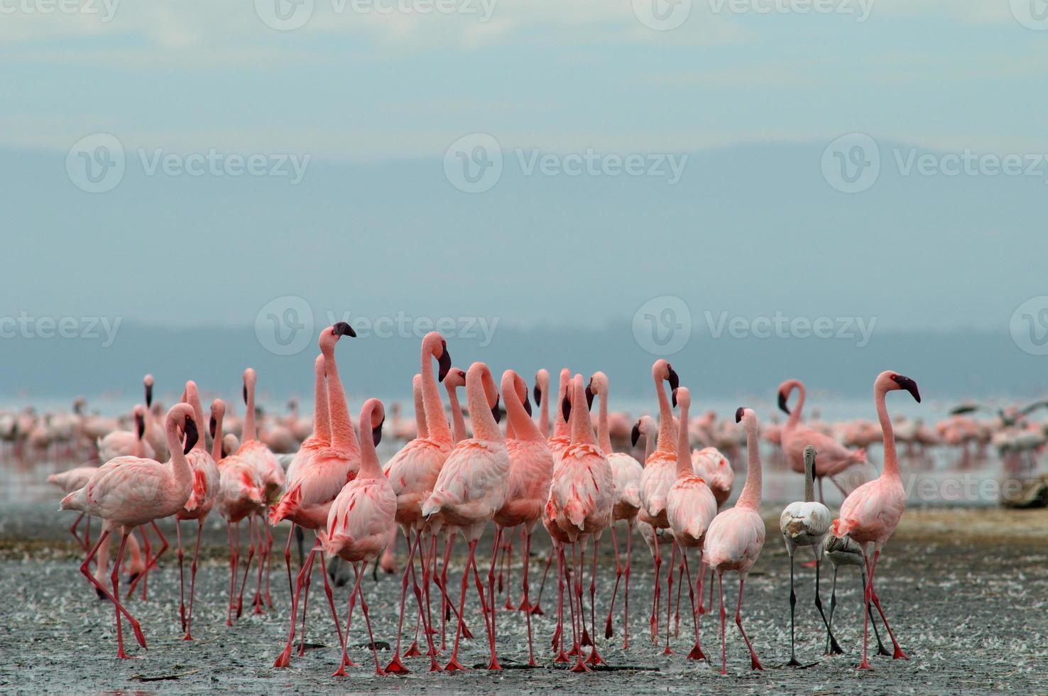 flamingos no lago nakuru foto