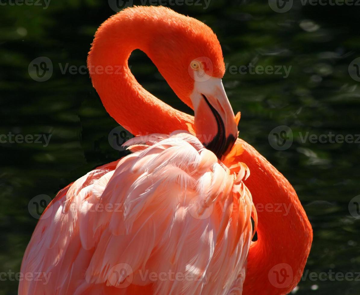 posando de flamingo foto