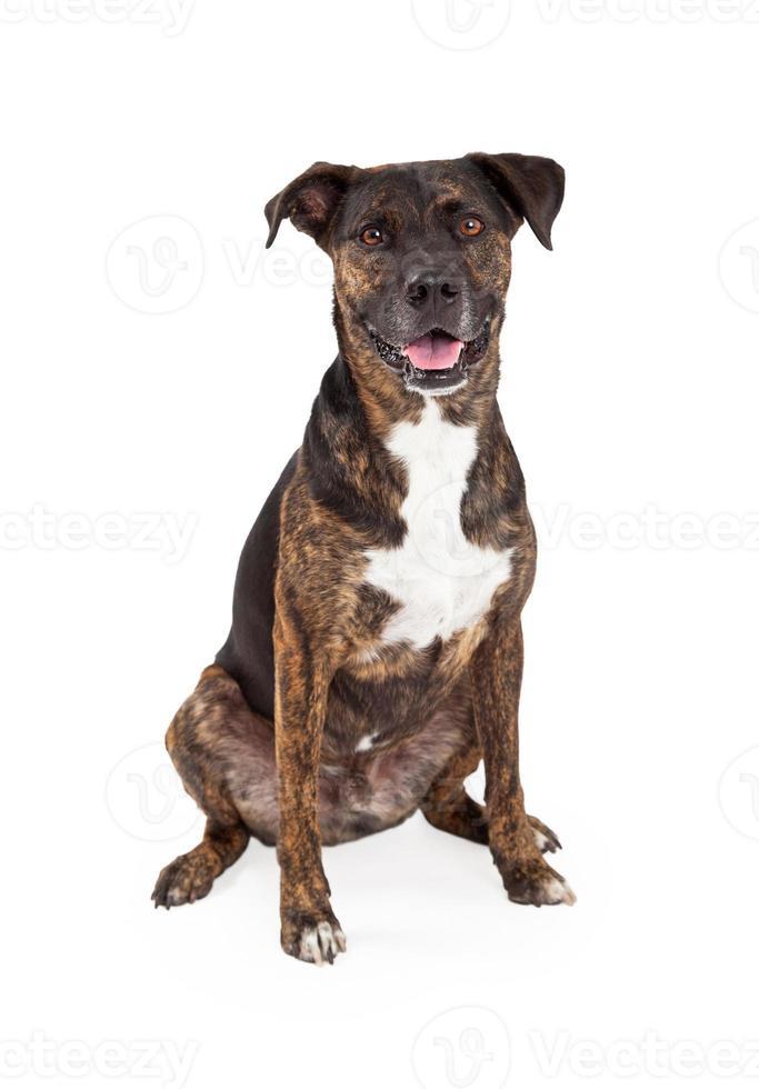 gado cão raça mista sentado foto
