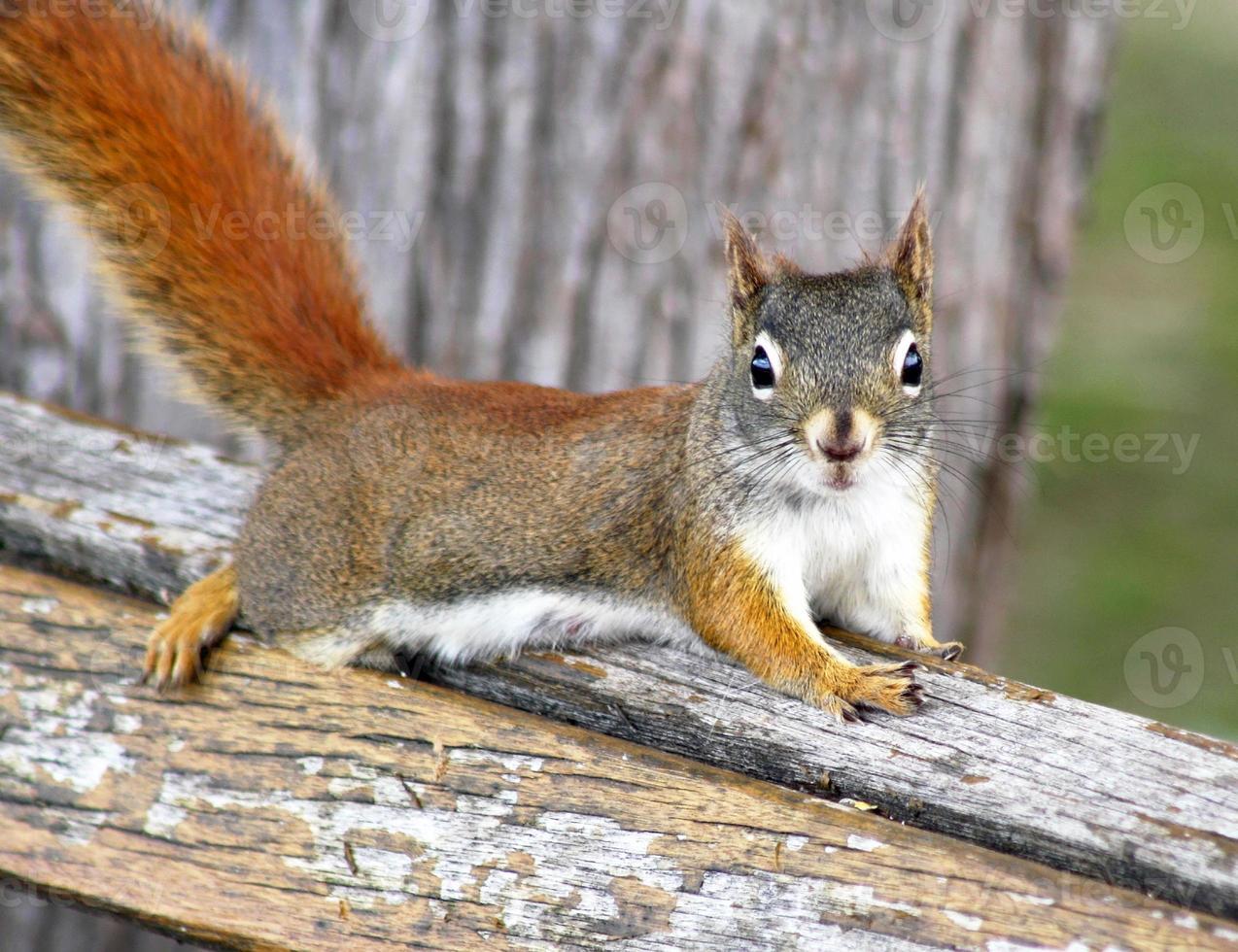 o esquilo vermelho foto