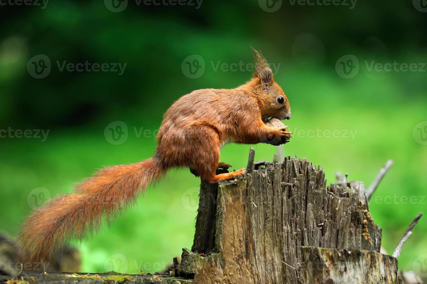 esquilo com nozes foto