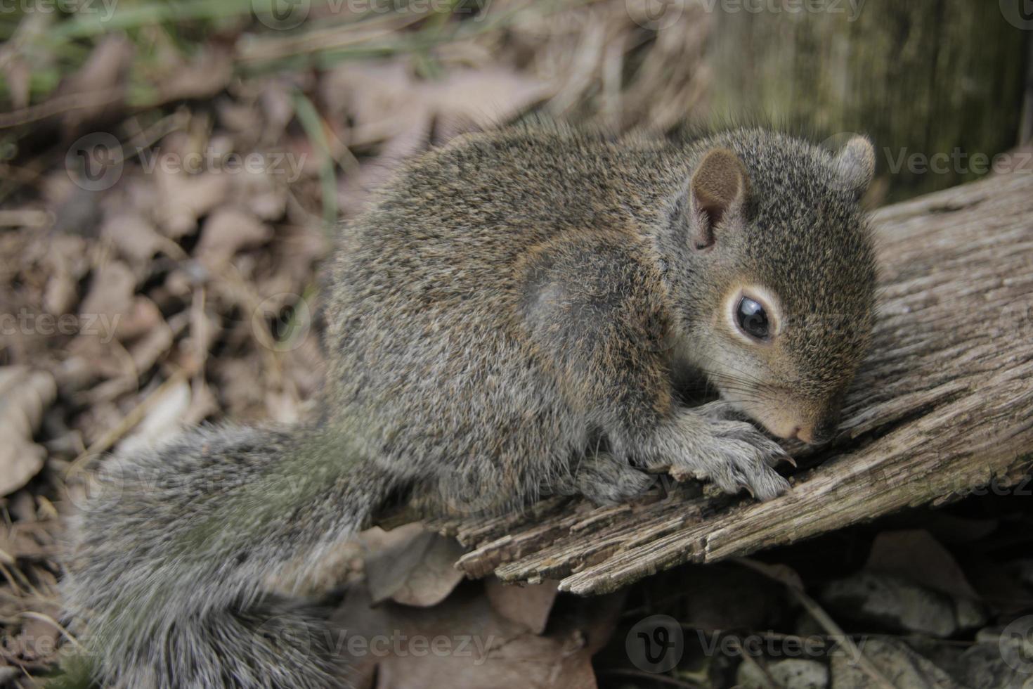 esquilo curioso do bebê foto