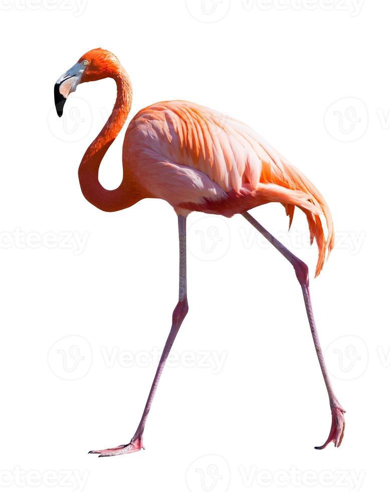comprimento total de flamingo sobre branco foto