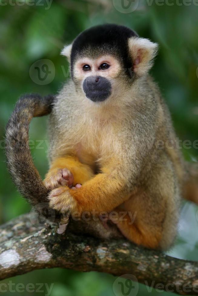 macaco esquilo na árvore foto