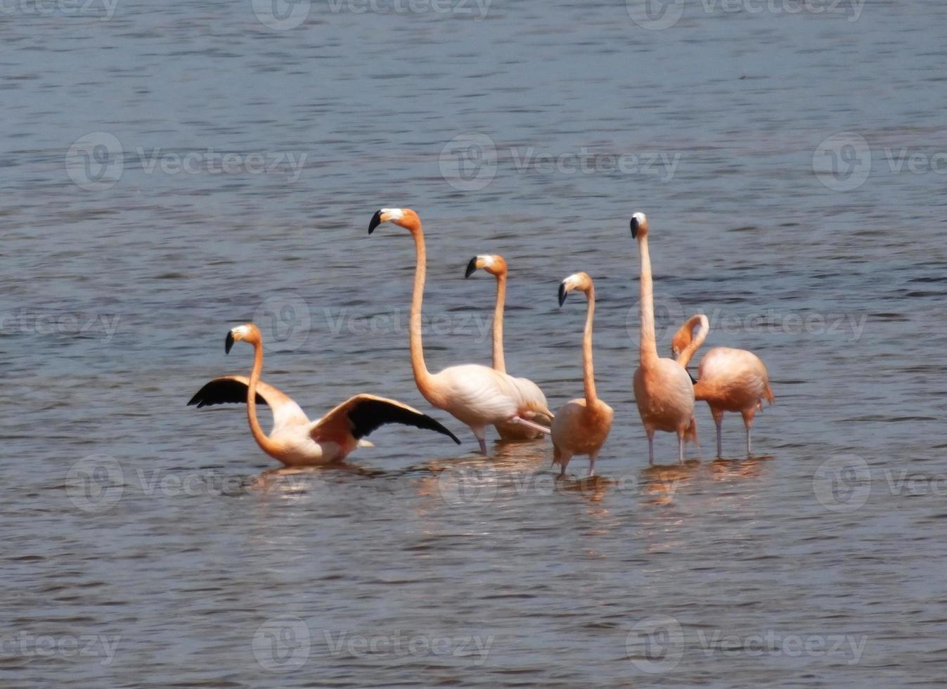 flamingos selvagens (borracha de phoenicopterus) foto