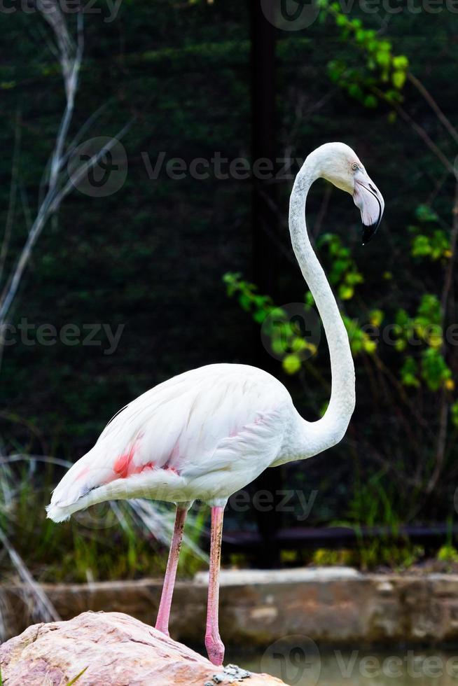 retrato bonito flamingo foto