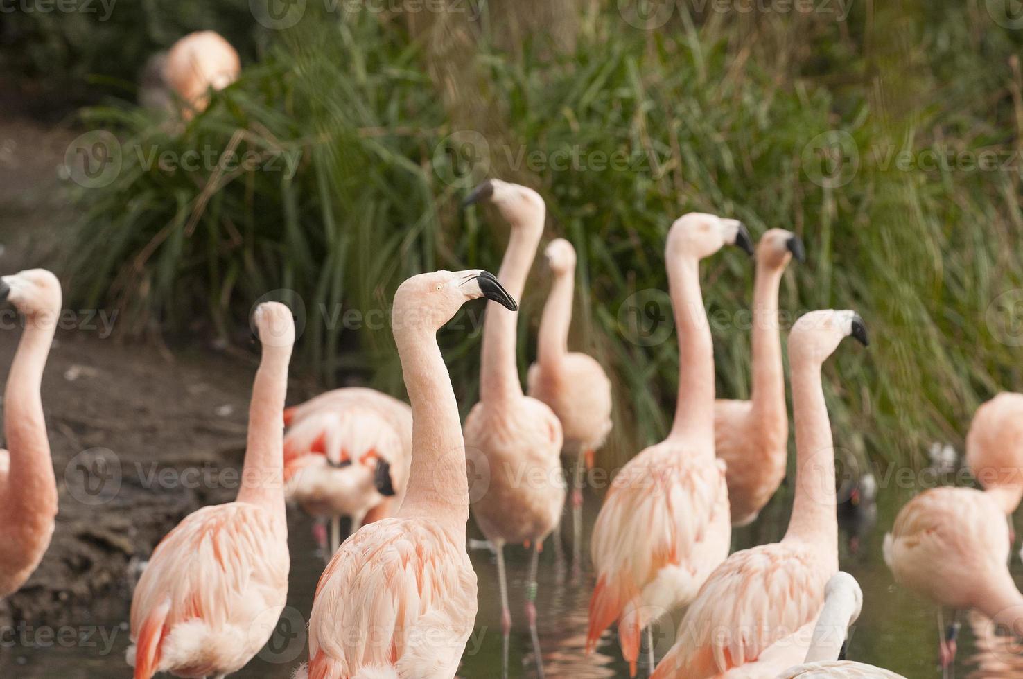 flamingos chilenos foto