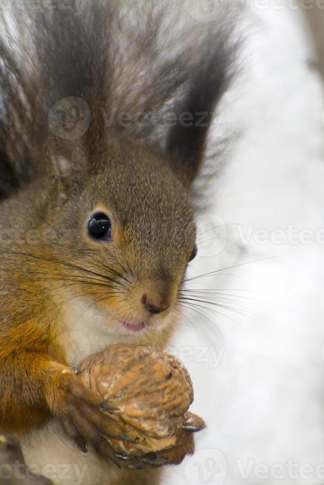 esquilo vermelho eurasian (sciurus vulgaris) foto