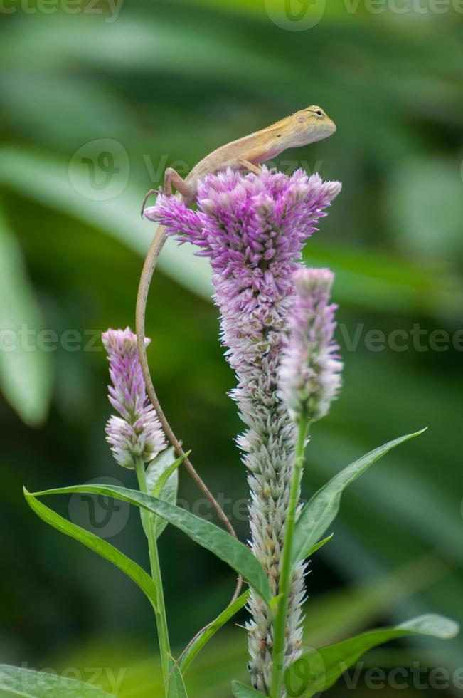 pequeno lagarto amarelo na flor-de-rosa celosia argentea. foto