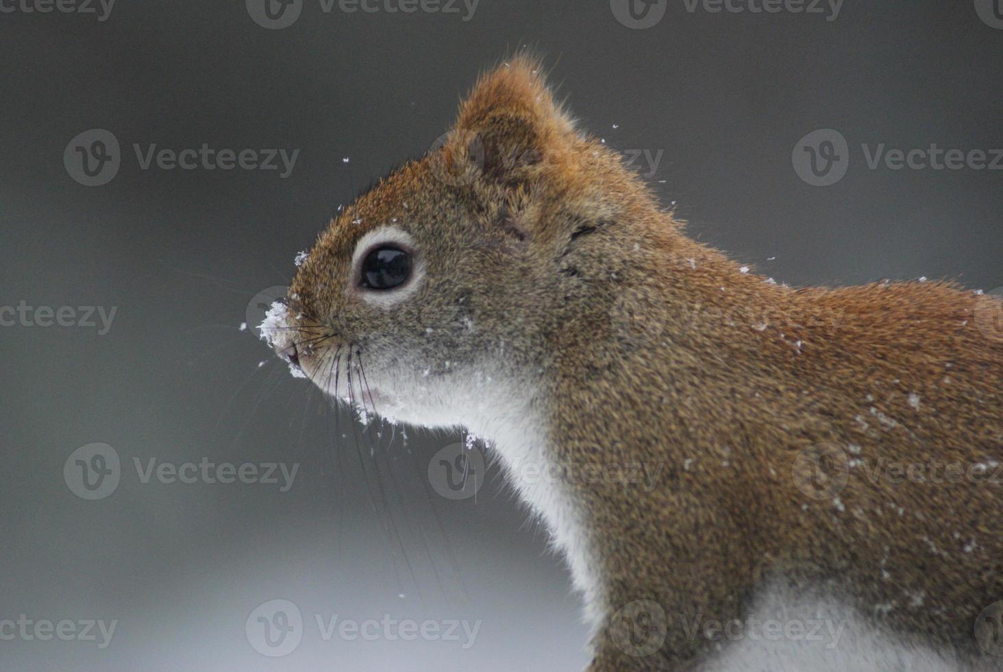 esquilo vermelho com neve no nariz foto