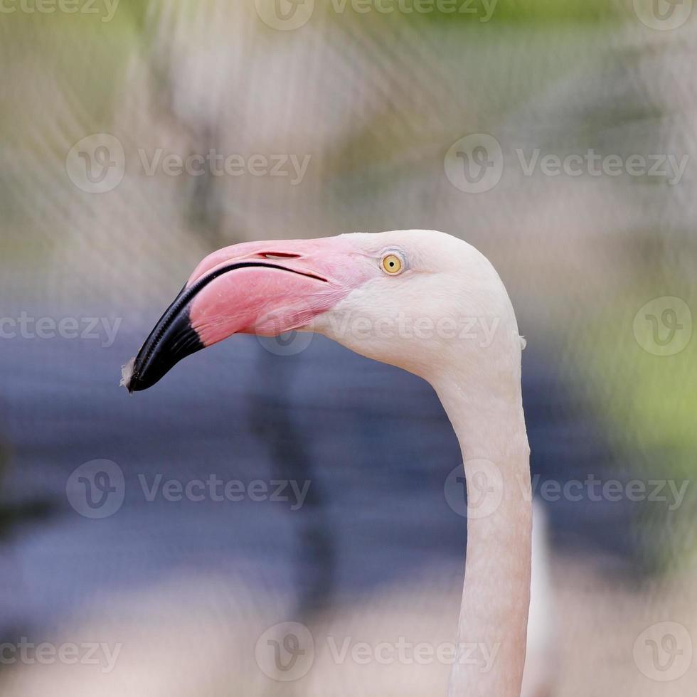 close de uma cara de flamingo foto