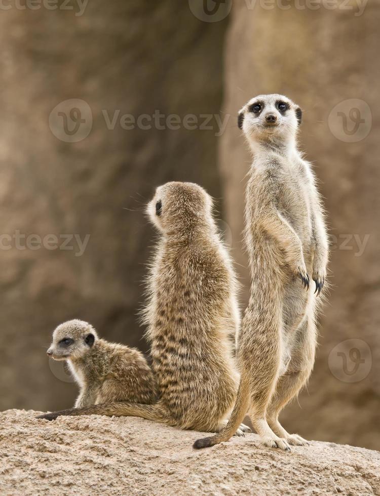 família meerkat foto