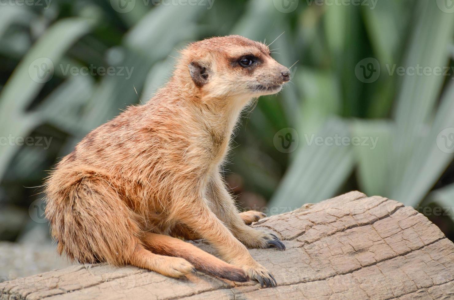 suricata - suricata - suricata foto