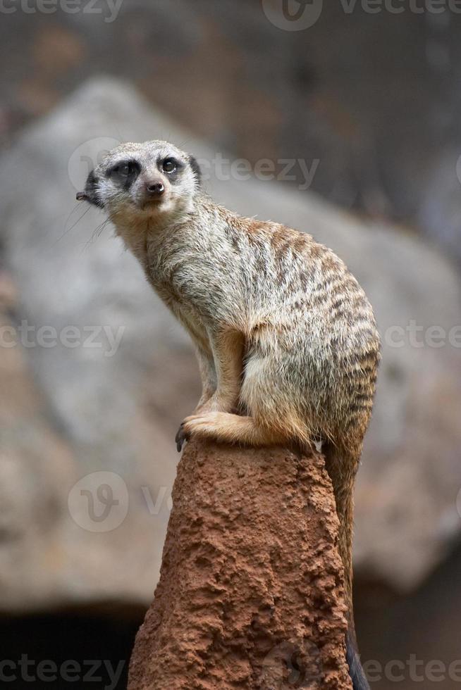doninha isolada / meerkat em uma rocha foto