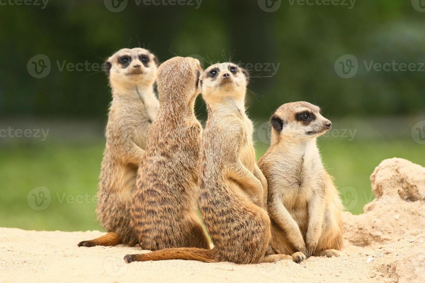grupo de suricatos sobre o fundo verde foto