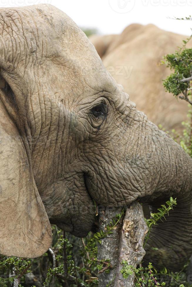 elefante ou elefantes em addo foto