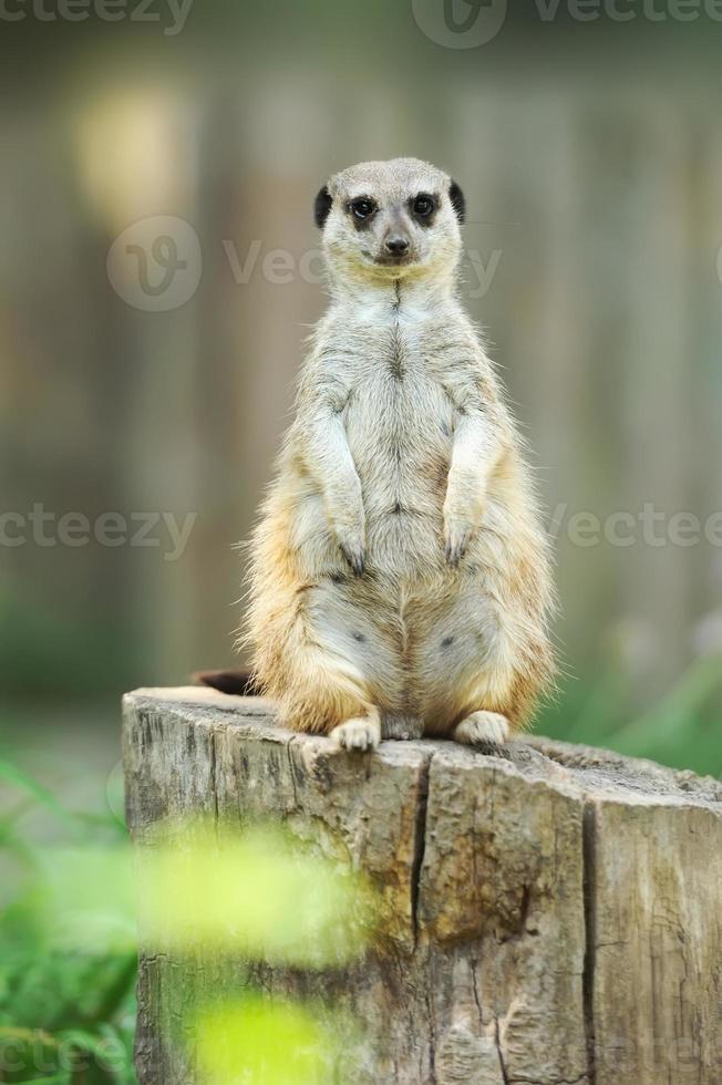 meerkat em pé e olhando alerta foto