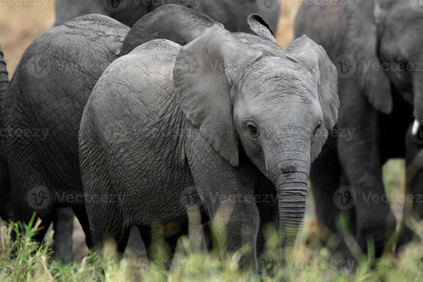 animal de estimação elefante foto