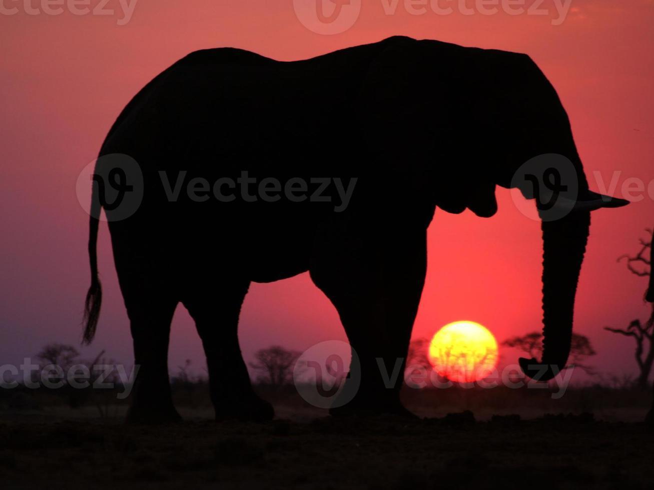 pôr do sol elefante foto