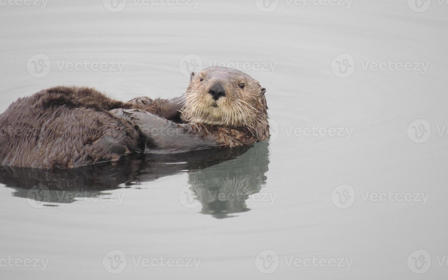 Lontra do mar foto