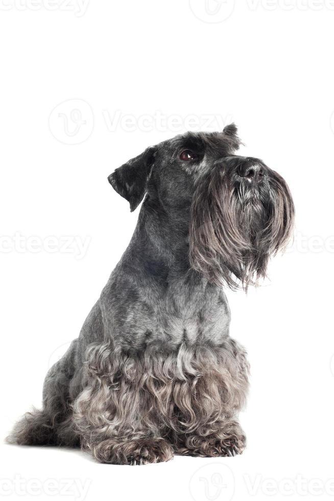 retrato de cachorro terrier cesky foto