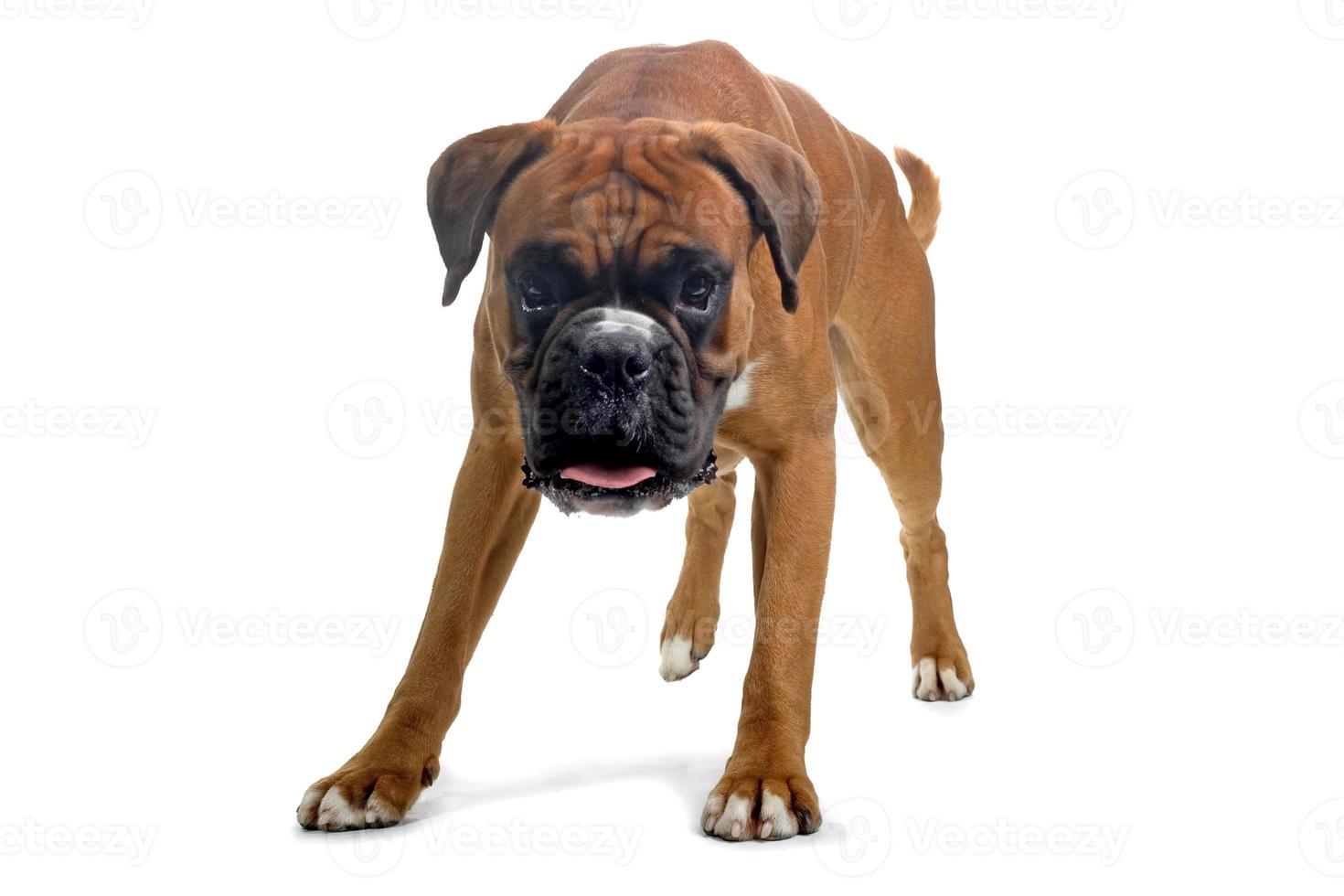 um cão boxer marrom sobre um fundo branco foto