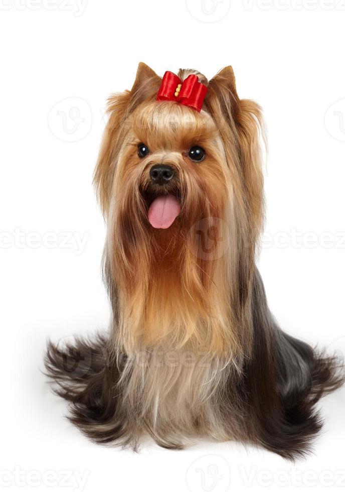 mostre o cão da classe com arco foto