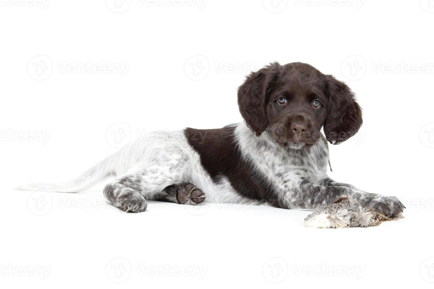 filhote de cachorro pequeno munsterlander foto