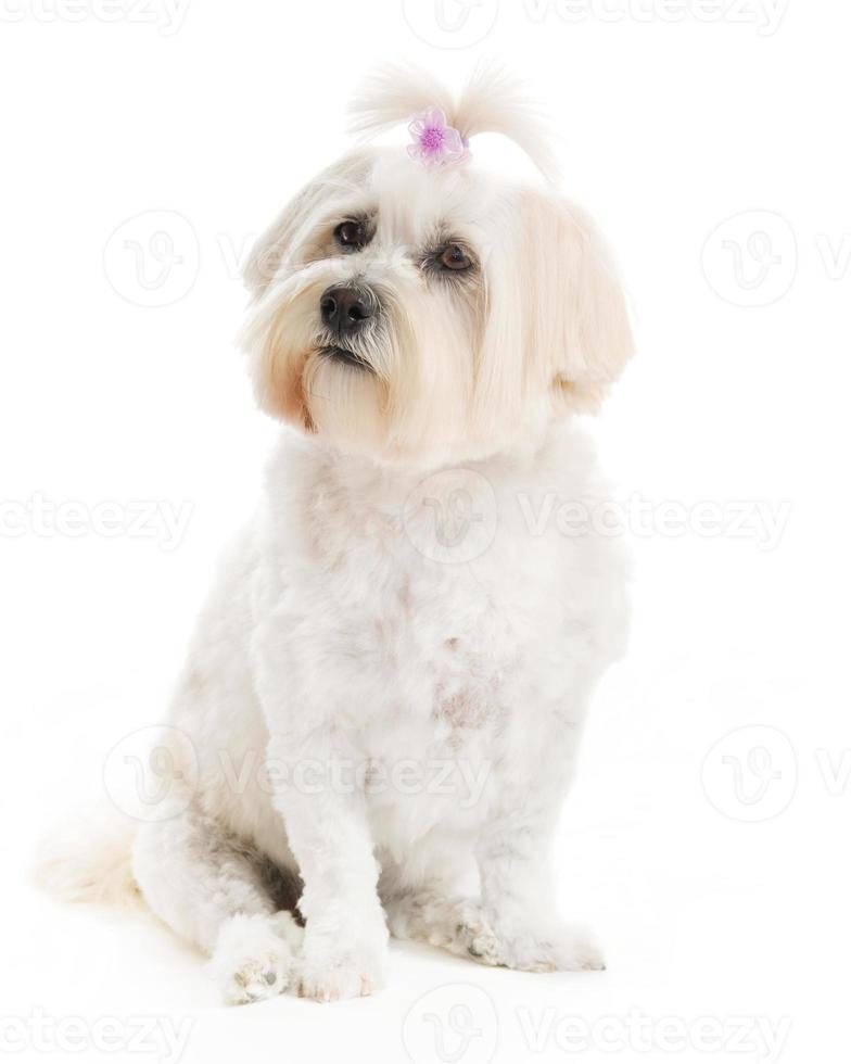 posando de cachorro havanese foto