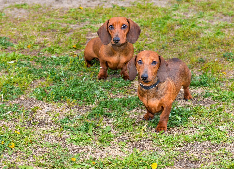 dachshunds dois. foto