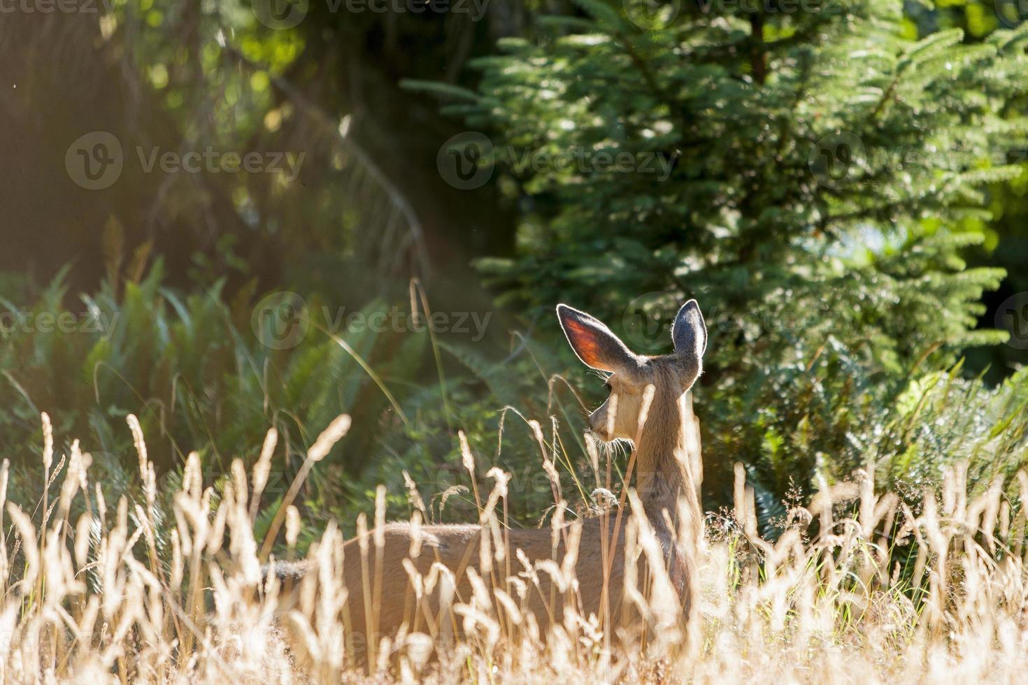 veado de trilha do rio hoh foto
