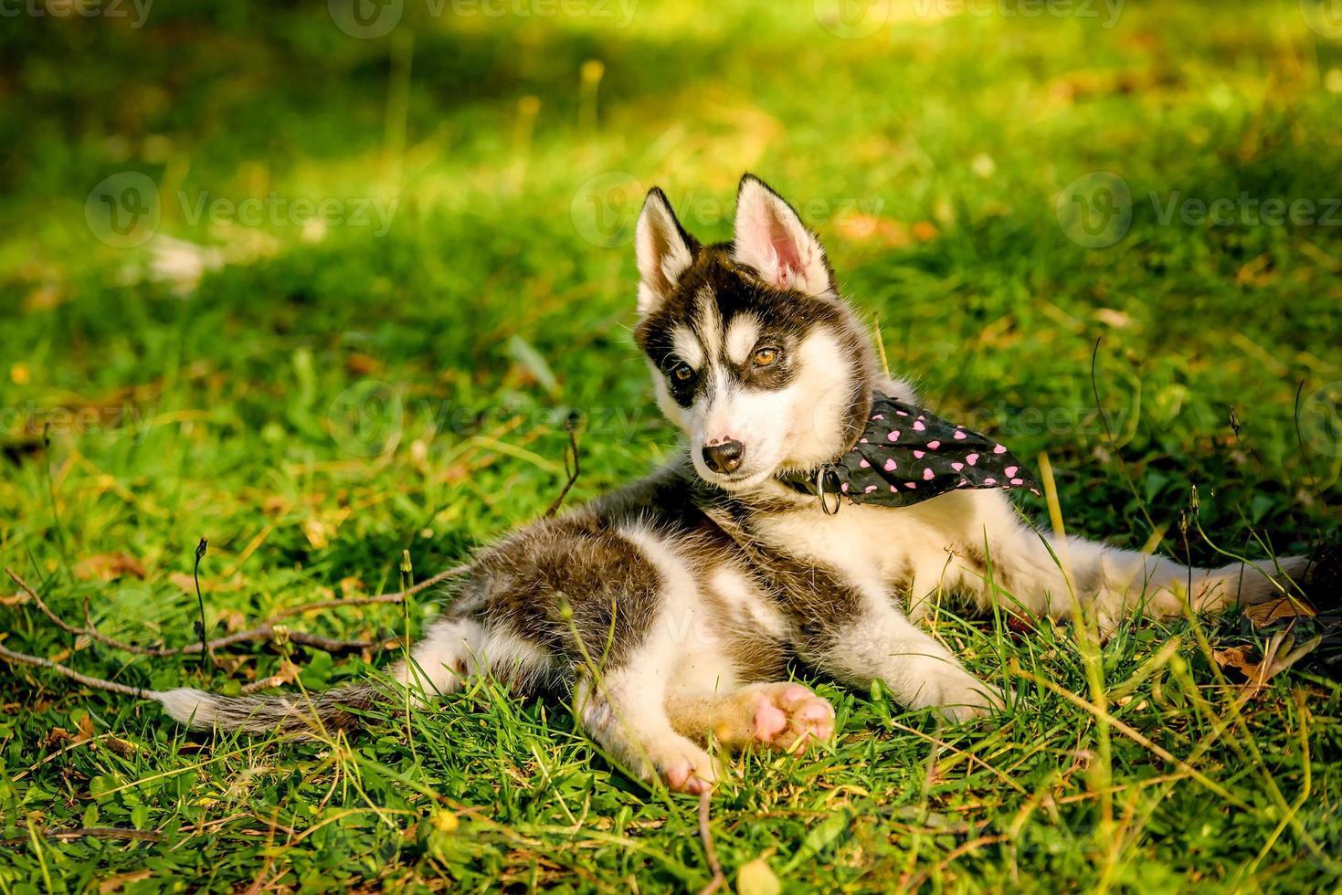 filhote de cachorro husky fofo brincando no parque foto