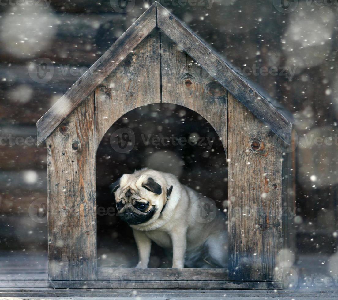 cão pug engraçado na casa de cachorro foto