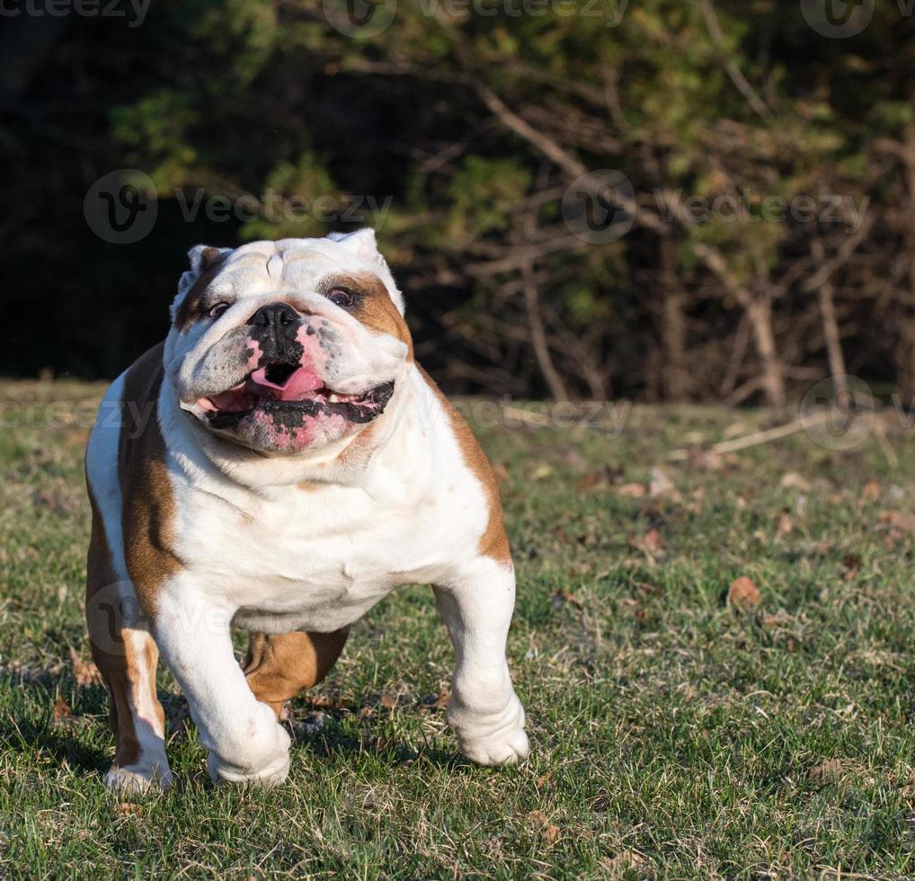 bulldog inglês correndo foto