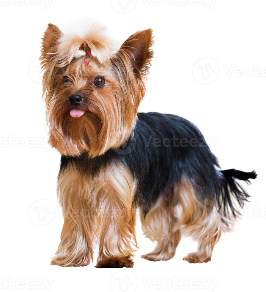 engraçado yorkshire terrier foto