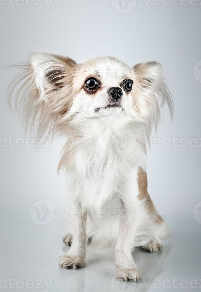 chihuahua de cabelos compridos. cão pequeno sentado, olhando para a câmera foto
