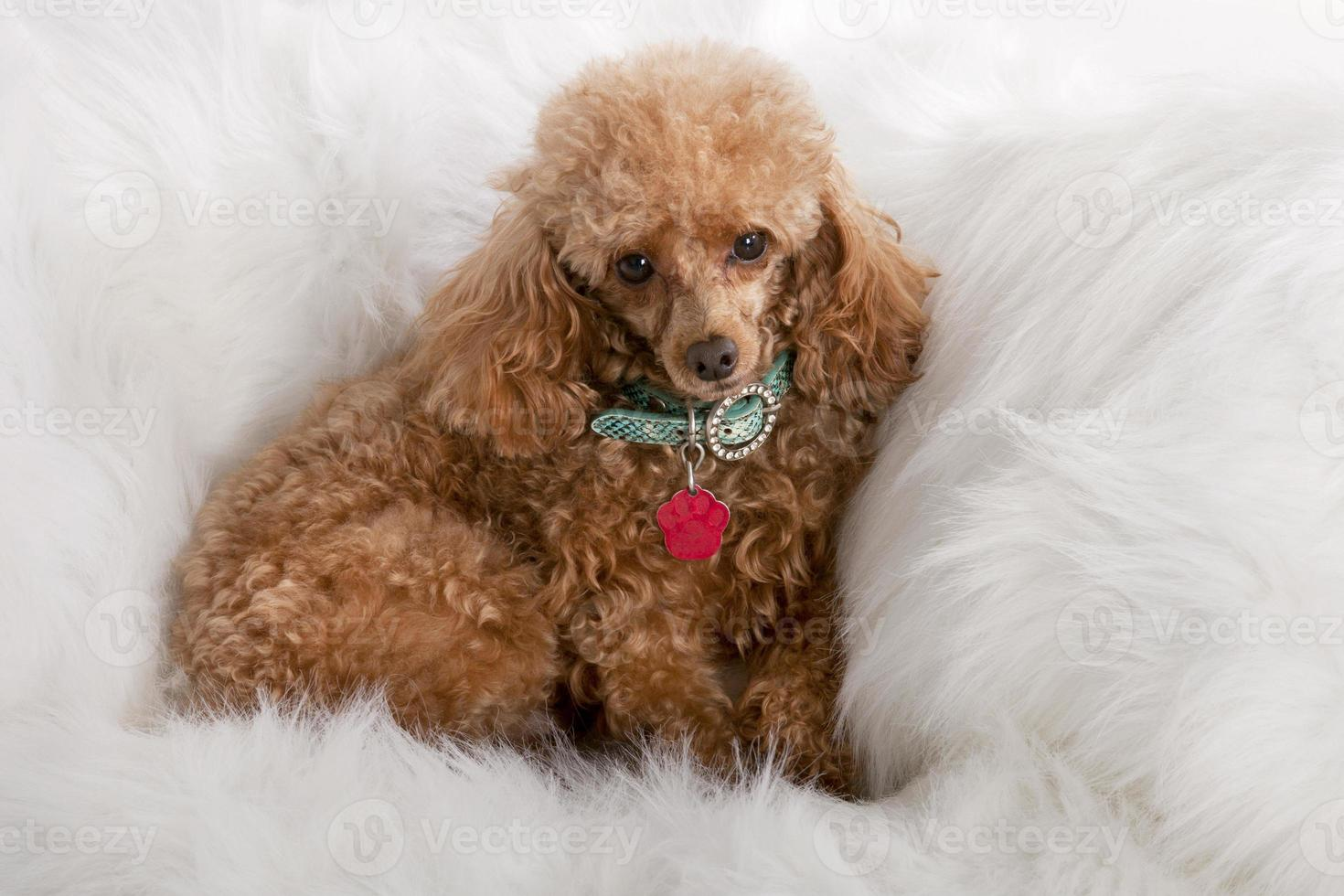 poodle toy foto